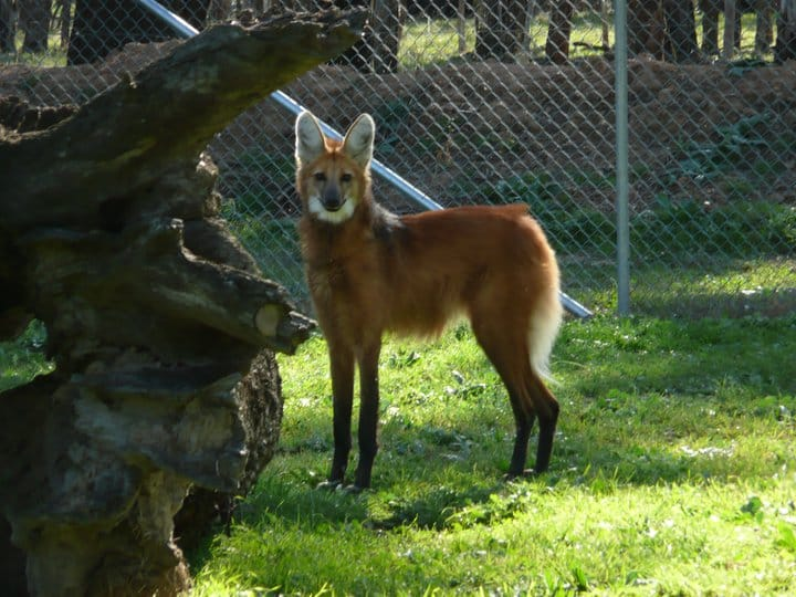 Maned Wolf in Enclosure