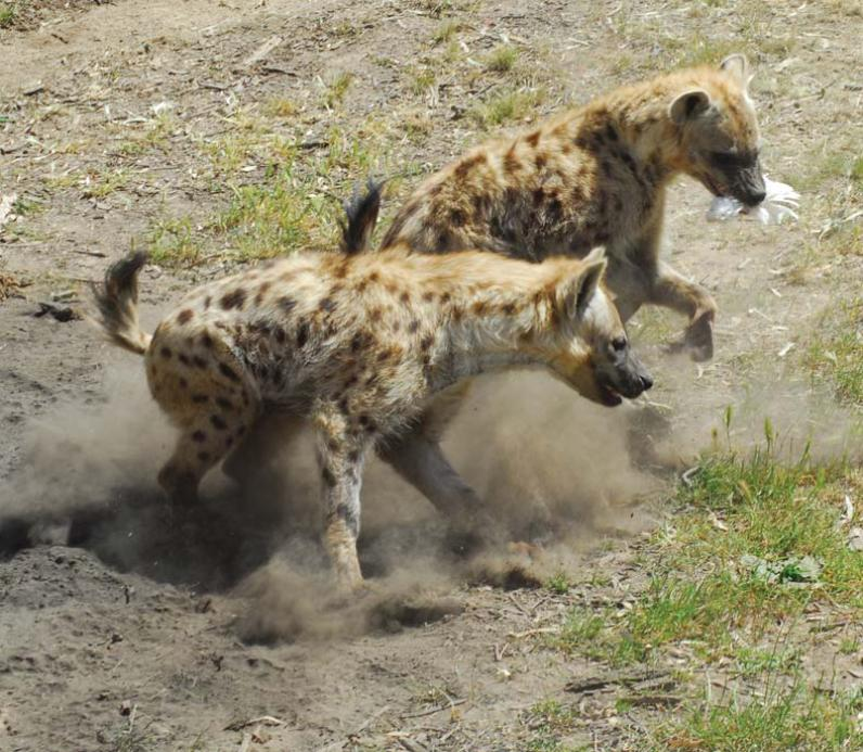 Image of: African Hyenas Altina Wildlife Park Spotted Hyena Altina Wildlife Park