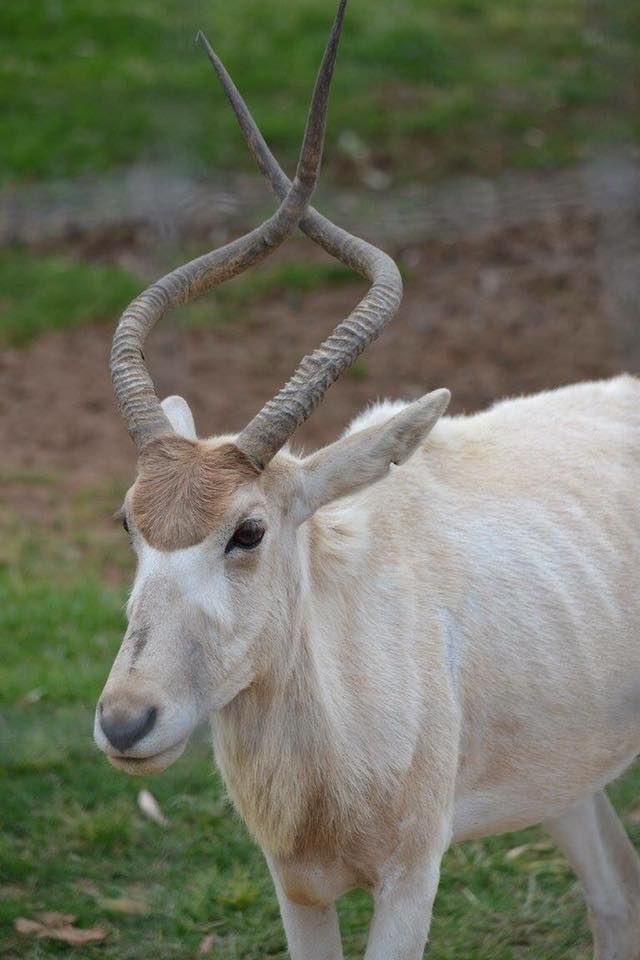 'Addax antelope - as the horn grows it twists and the crossed over horns grows into normal looking horns'