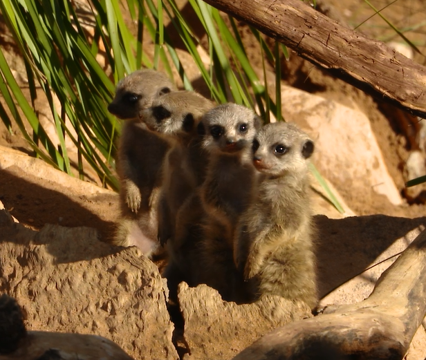 If you haven't come to see our baby meerkats yet you might want to book soon - they are growing so fast!!!