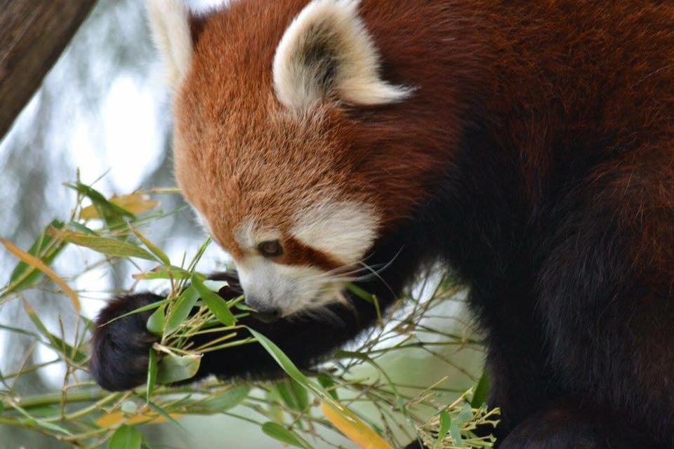 'Red panda Rani loving her bamboo'