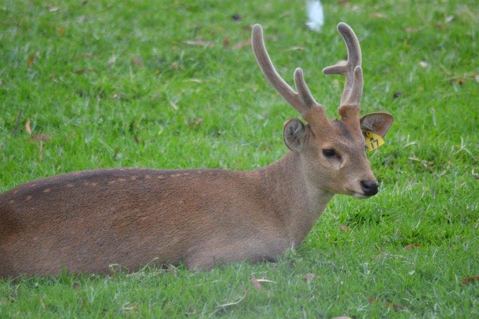 'Hog Deer male - antlers in velvet'