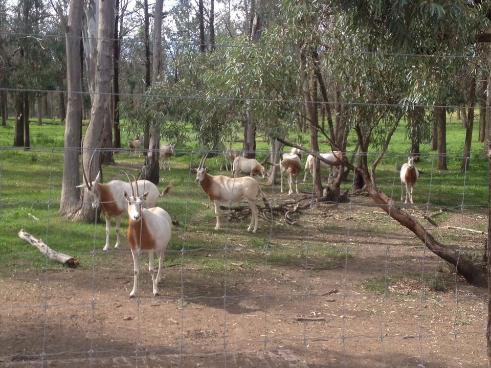 'Huge Mob or Oryx'