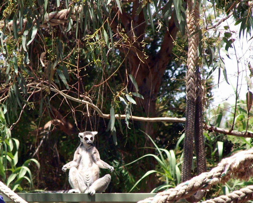 'Meditating Lemur'