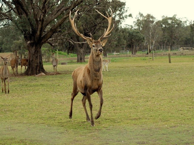 red_deer_male