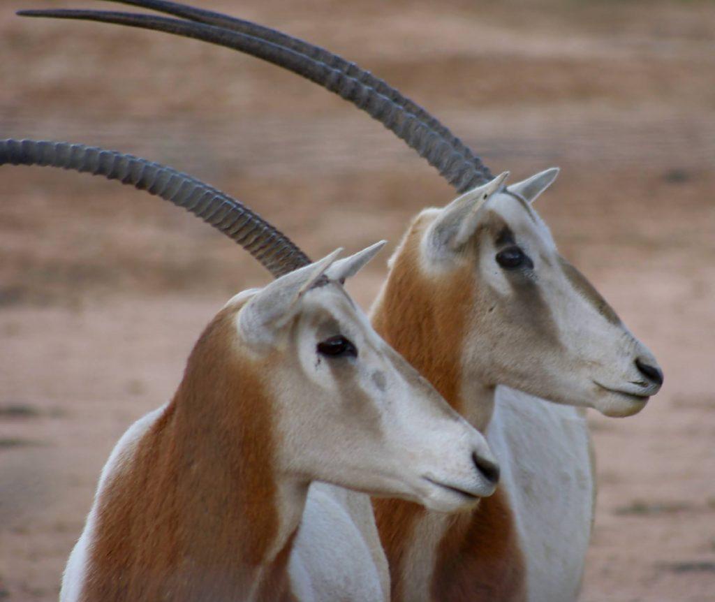 -Scimitar Horned Oryx