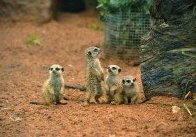 Baby Meerkats 24.06.2015 Altina Park