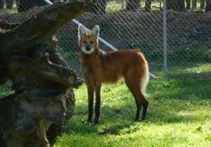 Maned Wolf in Enclosure