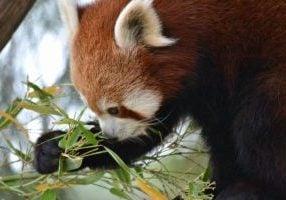 'Red panda Rani loving her bamboo'